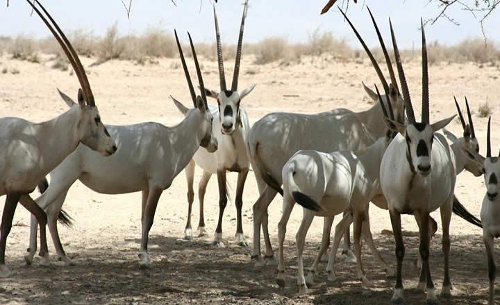 Arabia,n Oryx