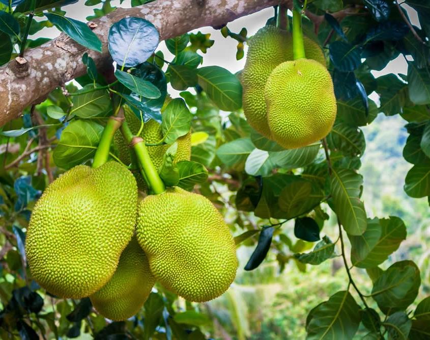 Jackfruit in Asia